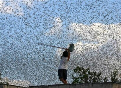 A child swings a broom stick at a swarm of locusts in Mexico