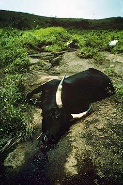 Cow killed by Lake Nyos gasses
