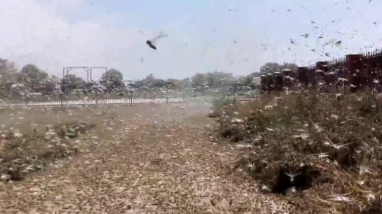 Locust swarms plague Russia, devouring crops