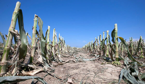 Rows of damaged corn stalks in a field south of Blair, Nebraska